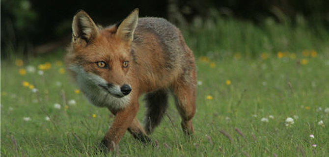Fox infestation Birmingham Pest Control Foxes