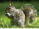 Squirrel Pest Control Wolverhampton, Birmingham and The West Midlands.